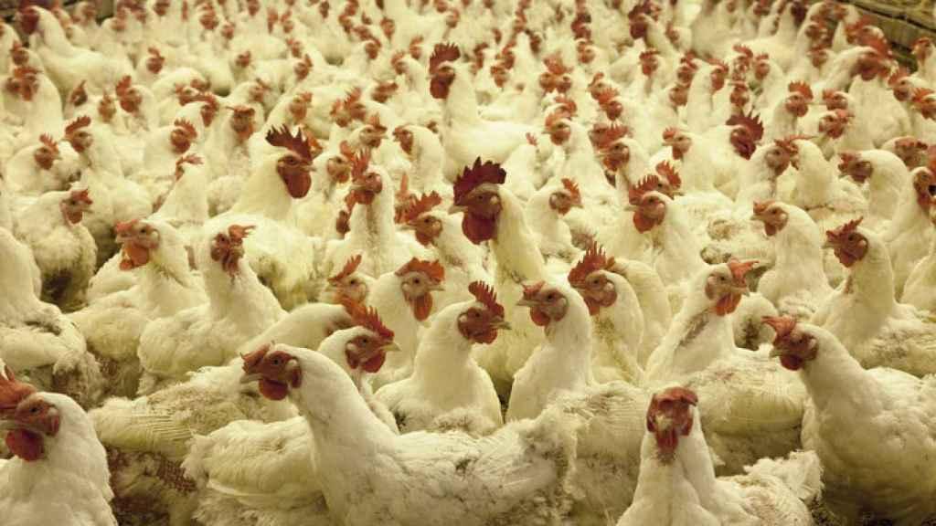 En España ha aumentado el número de animales alojados en jaulas.