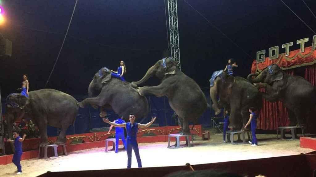 Las cinco elefantas, en su última actuación antes del accidente.
