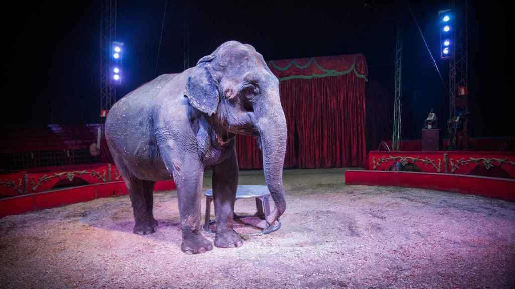 Una de las elefantas del circo Gottani en plena acción.
