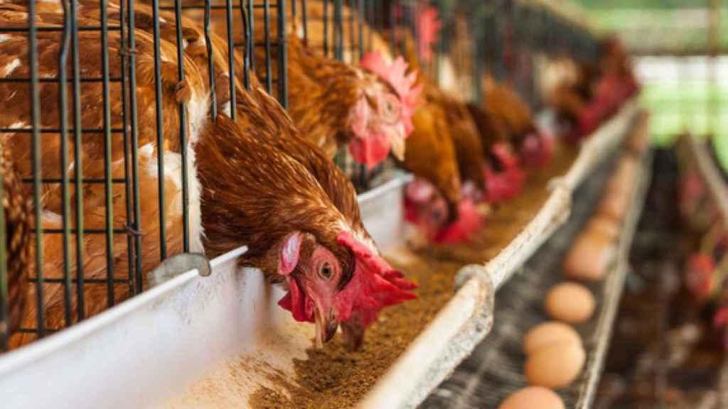 En España el 93% de las gallinas ponedoras viven enjauladas.