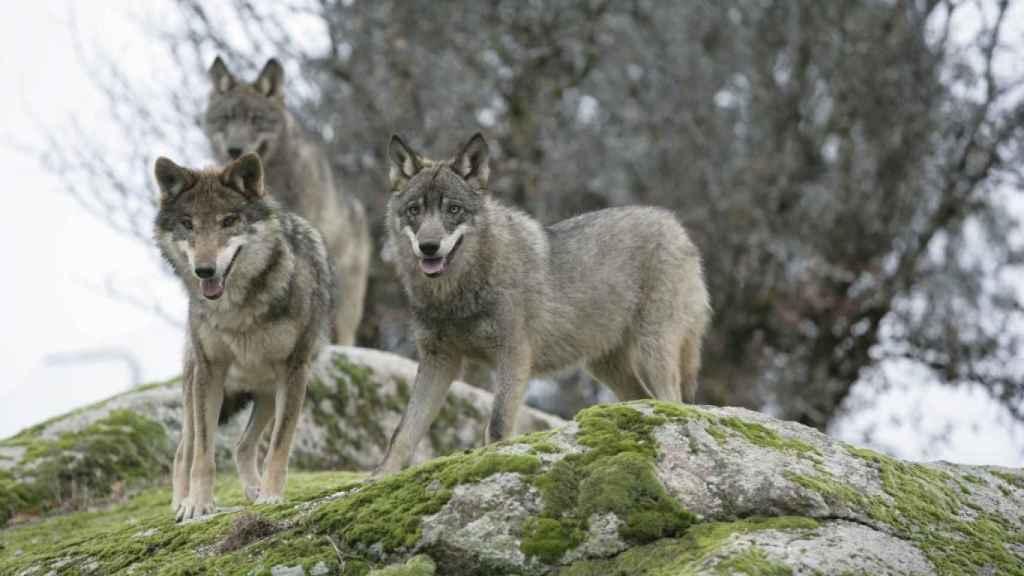 Manada de lobos ibéricos.