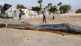 El cachalote que murió en  Murcia.