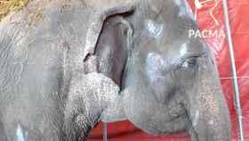 Una de las elefantas accidentadas hace una semana
