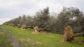 Olivos arrancados tras verse afectados por la 'Xylella fastidiosa'.