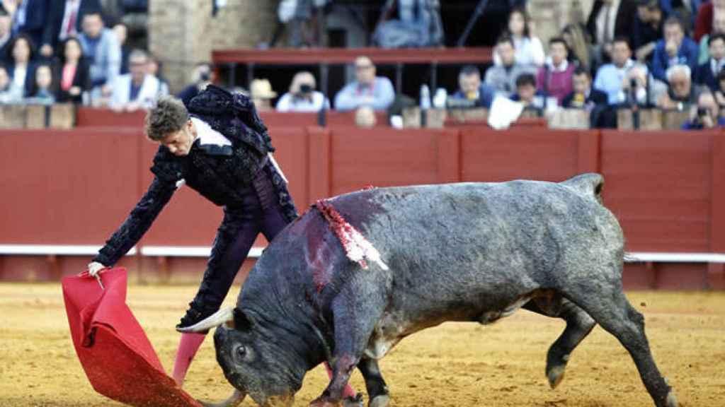 Excepcional embestida del toro 'Cobradiezmos', ejemplo de una acometida humillada