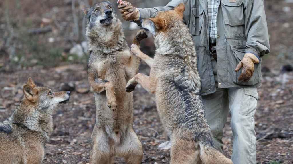 Carlos Sanz con los lobos del Centro del Lobo Ibérico.