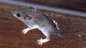 Así son los ratones superinfecciosos de Nueva York: llenos de virus desconocidos