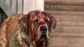 El perro protagonista de la película 'Cujo'
