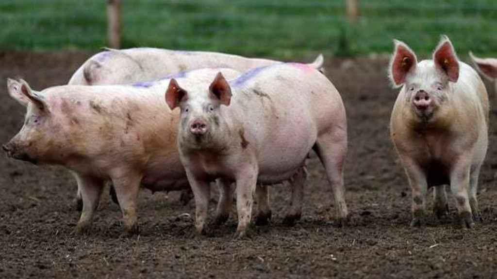 Unos cerdos en una granja.