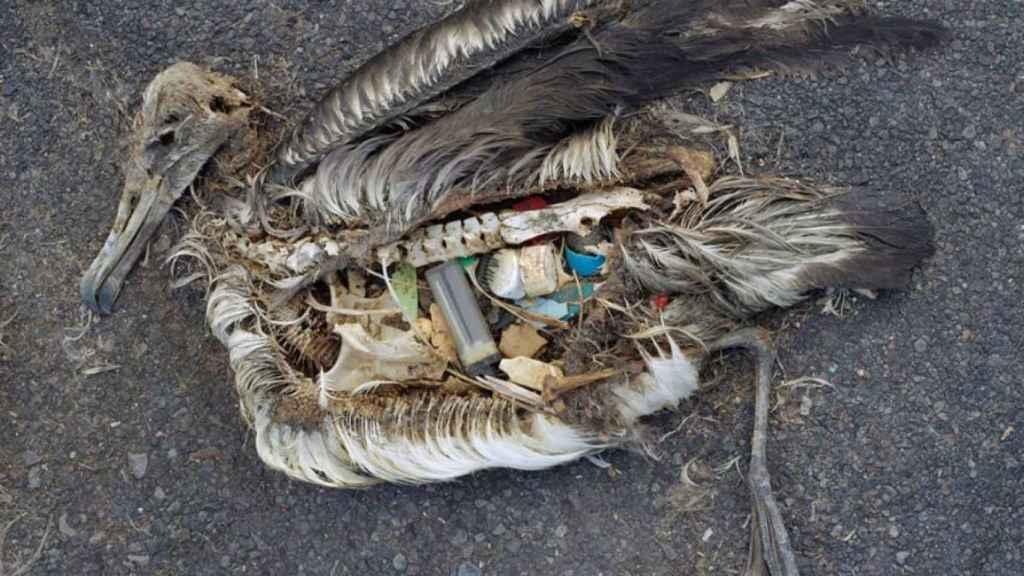 Un albatros muerto tras ingerir distintos productos de plástico.