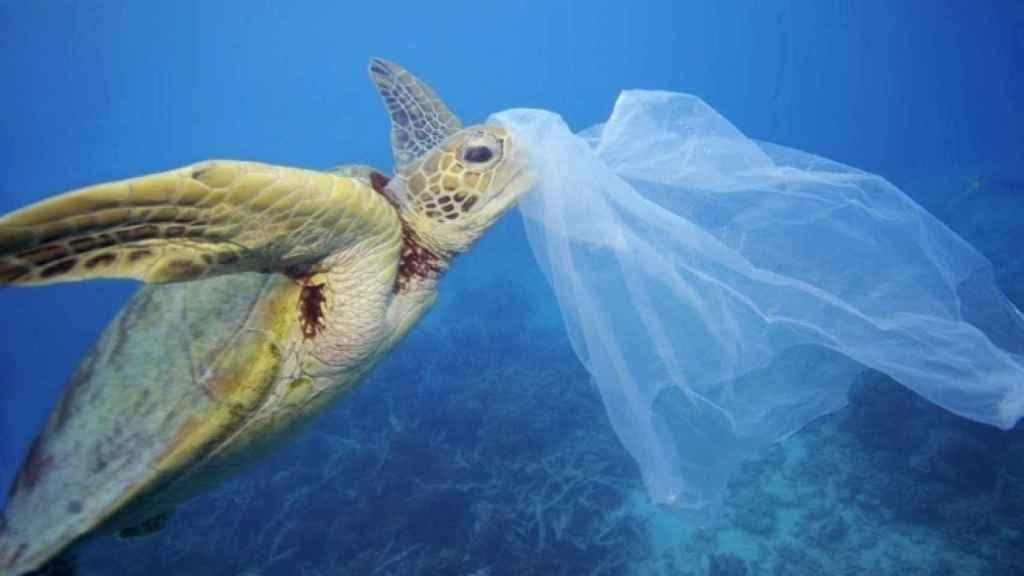 Una tortuga trata de comerse una bolsa de plástico al confundirla con una medusa.