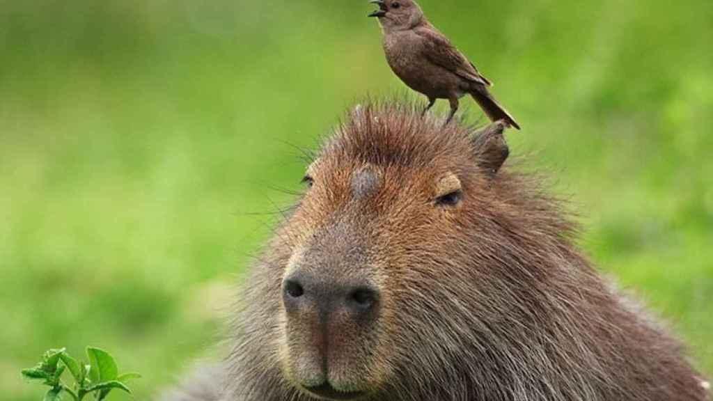 El capibara es uno de ellos.