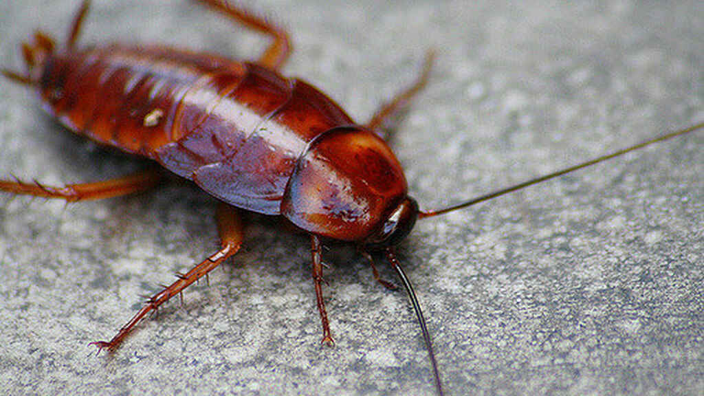 Una cucaracha realmente asquerosa.