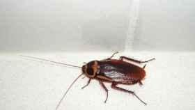 Si vives en el centro de Madrid, cuidado con esta cucaracha australiana.