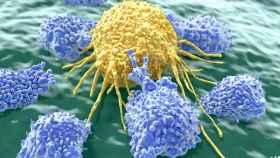 Unos linfocitos atacan a una célula cancerígena.