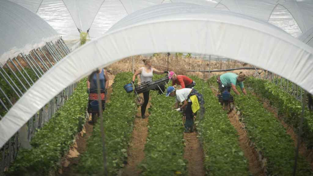 En 2018, 17.000 mujeres han llegado desde Marruecos hasta los campos de Huelva para la recolección de las frutas. Todas han sido contratadas en origen. Se trata de una cifra que duplica a la del año anterior.