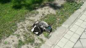 Valladolid-perros-patos-muertos-moreras