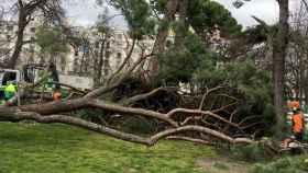 Operarios retirando uno de los árboles caídos en los meses anteriores.