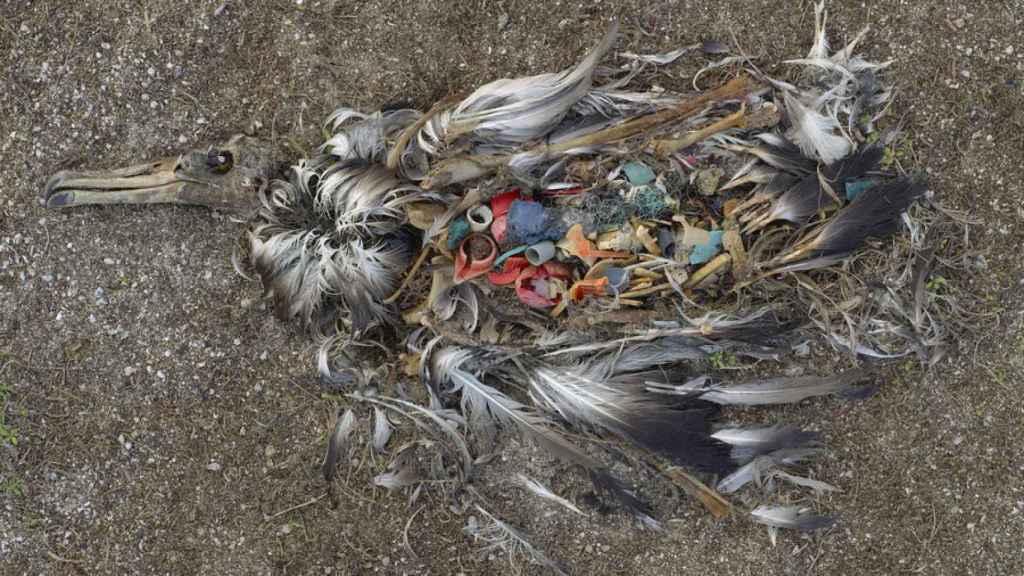 Un cepillo de dientes es parte del plástico en el estómago de este albatros muerto.