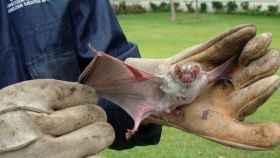Imagen de uno de los ejemplares de murciélago vampiro.