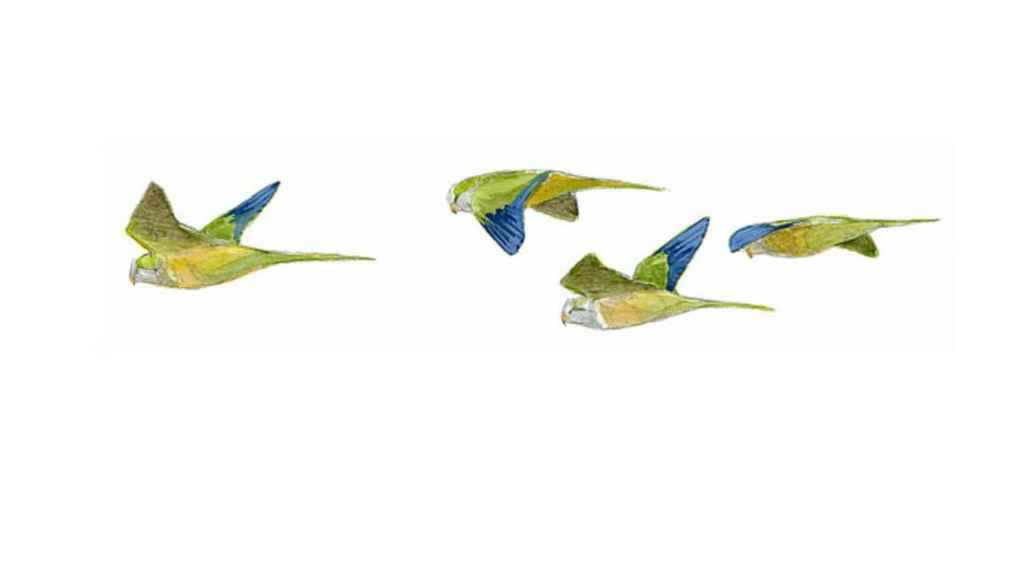Ilustración de una bandada de cotorras argentinas al vuelo.
