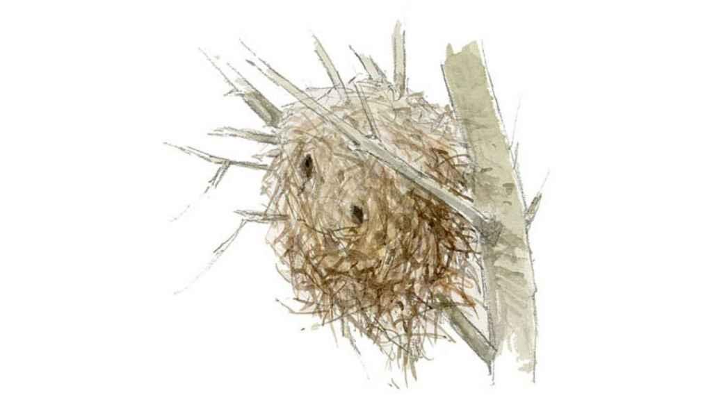 Ilustración de un nido de cotorra argentina.