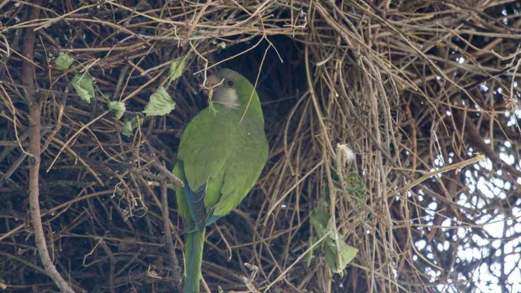 Una cotorra argentina construye su nido en el parque Tierno Galván de Madrid.