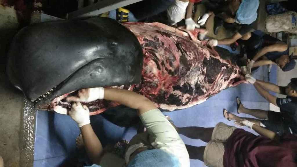 La autopsia a la desafortunada ballena.