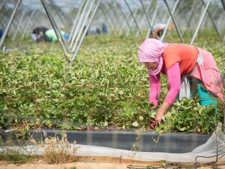 Una jornalera marroquí trabajando en una plantación fresera de Huelva.