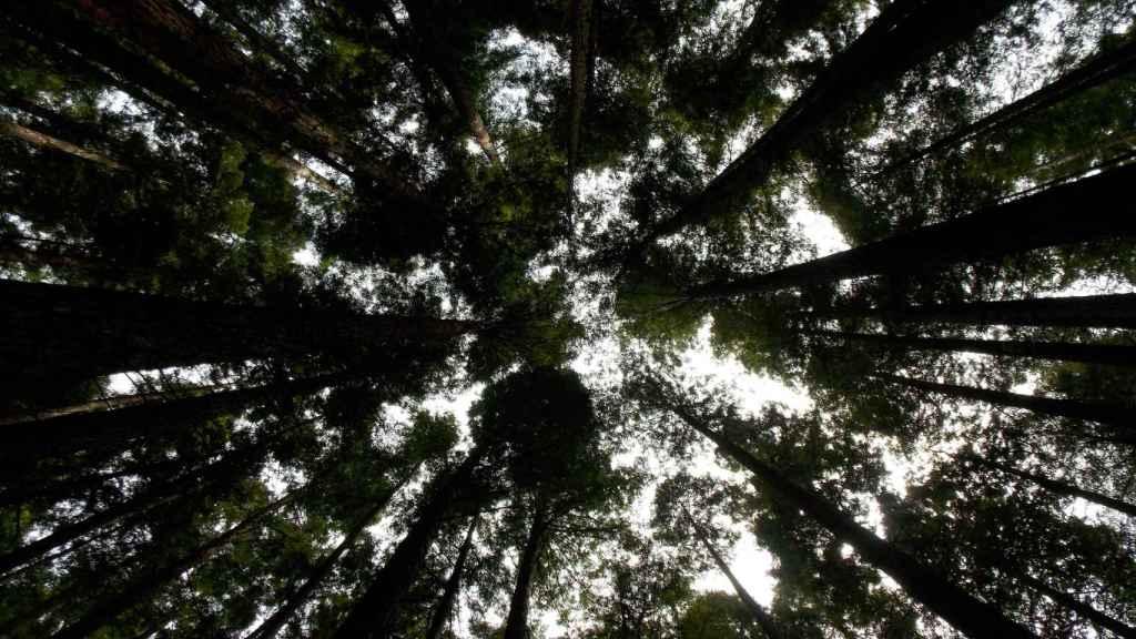 Secuoyas del Monte Corona, que aloja el bosque de Caviedes.