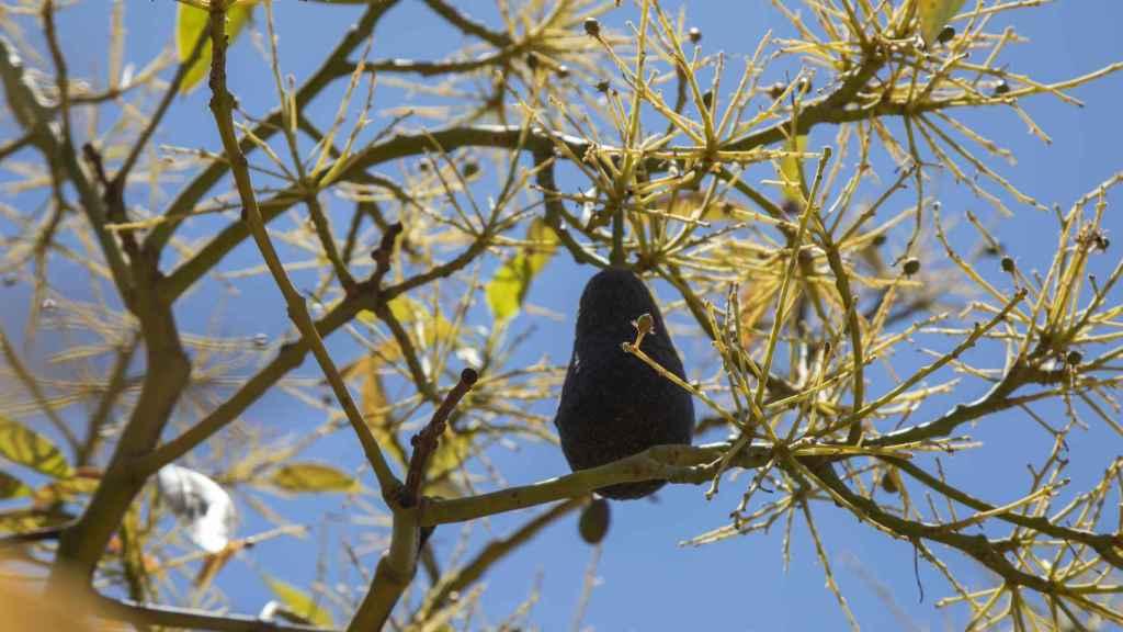 Un aguacate de la campaña anterior permanece en un árbol sin hojas estresado por las condiciones desfavorables de cultivo