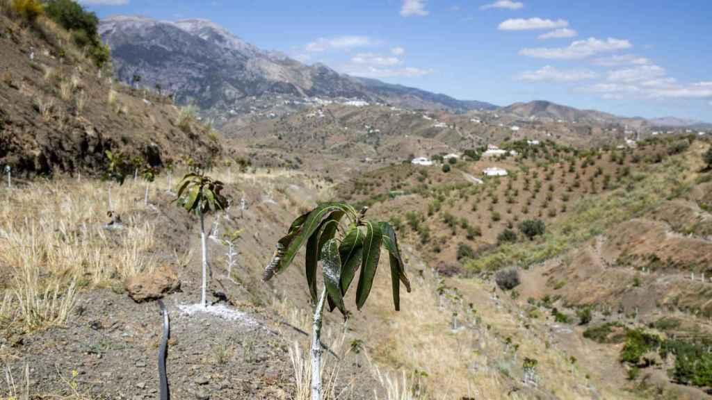 En la comarca de la Axarquía nadie se atreve ya a plantar árboles de aguacate por miedo de que, al no tener agua suficiente, se mueran