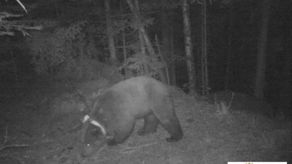 El oso Goiat, con su reconocible collar rastreador, grabado en el Val d'Aran.