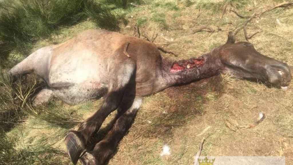 Una yegua matada por Goiat en Bausen.