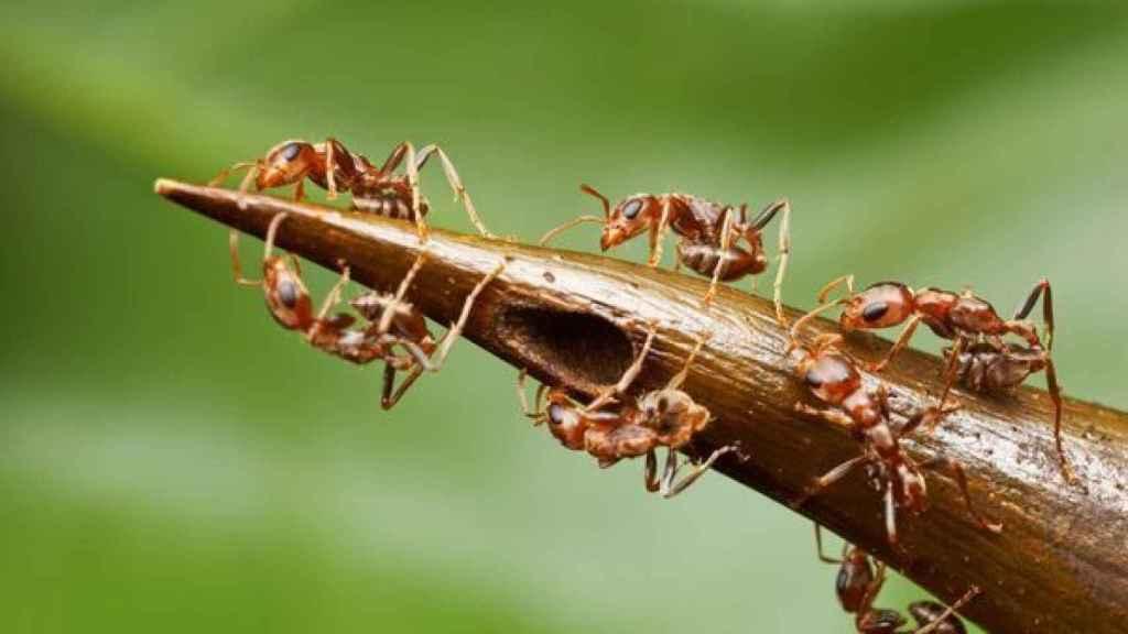 Así se pelean las hormigas por la sacarosa de la Acacia cornigera.