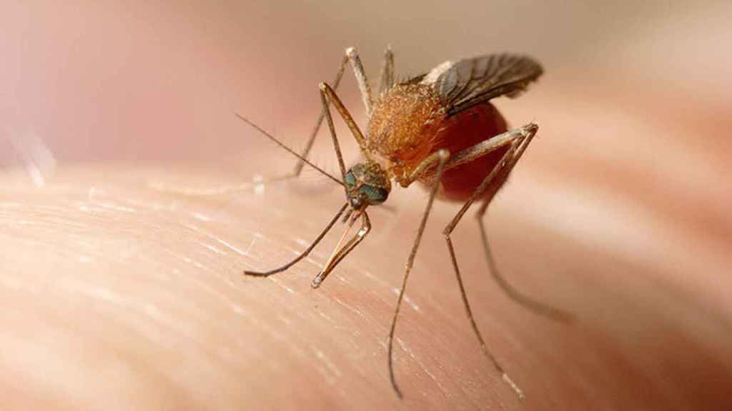 Un mosquito común se posa sobre el brazo de una persona.