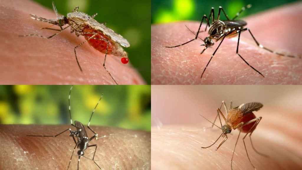 Los mosquitos son los animales más mortíferos del planeta, según la OMS.