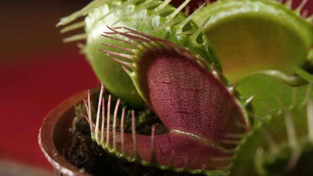 Venus atrapamoscas (Dionaea muscipula)