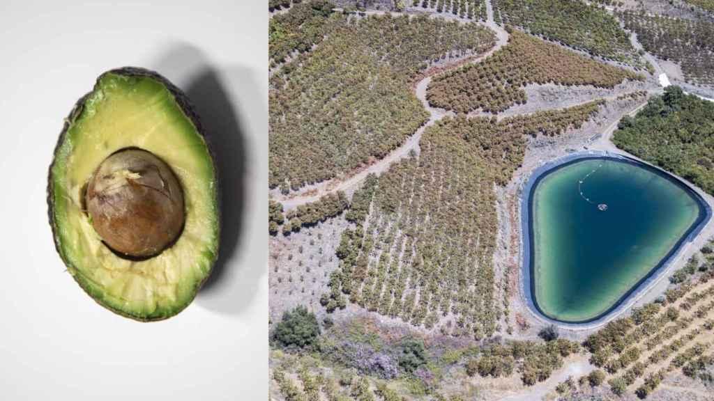 Los aguacates se cultivan en la provincia de Málaga. Hay campos y campos.