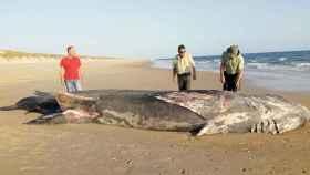 Tiburón de nueve metros en Doñana