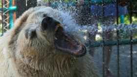 El oso Pamir recibe un duchazo de agua fría para refrescarse en el zoo Royev Ruchev de Krasnoyarsk. Siberia. REUTERS/Ilya Naymushin