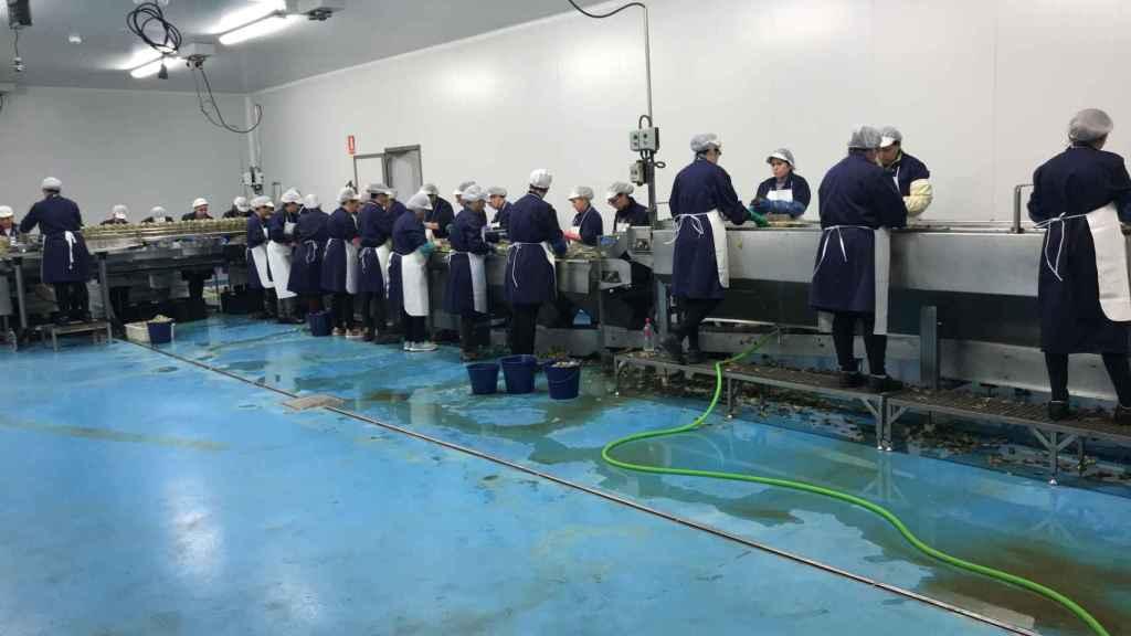 La empresa de José Antonio Capitán ha dado empleo a 70 personas, la mayoría vecinas de Marinaleda (Sevilla), en la última campaña.