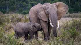 Una elefanta amamanta a su cría.