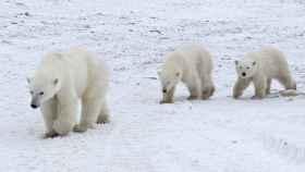 Cuando tienen 2 años y medio, los osos ya pueden vivir sin sus madres