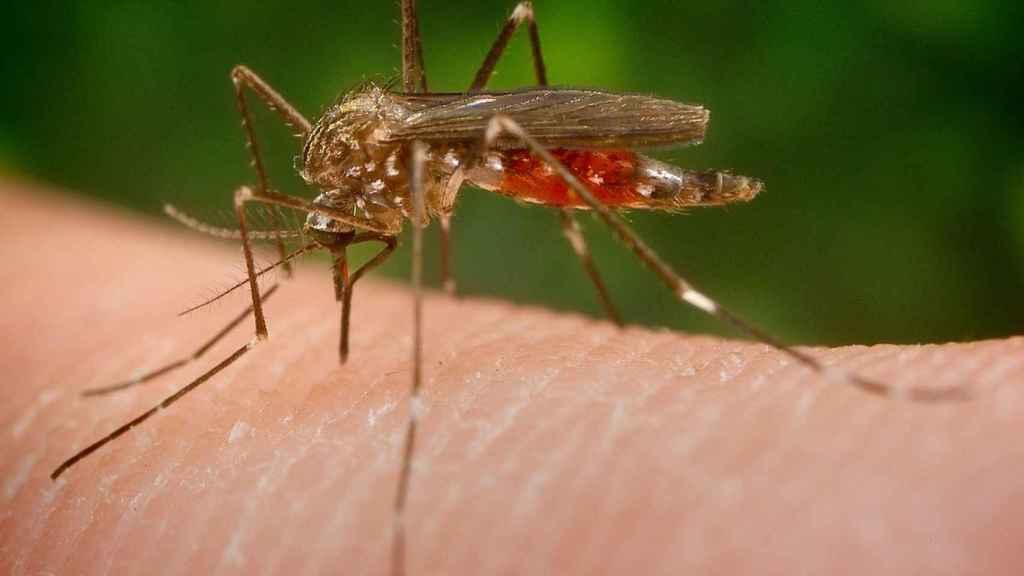 El 'aedes japonicus' es capaz de transmitir el virus del Nilo o el dengue.