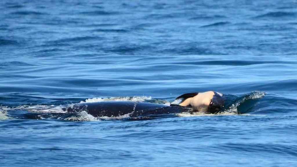 La orca empujando el cadáver de su cría mar adentro.