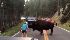 'Torea' a un bisonte en mitad de la carretera y casi no lo cuenta