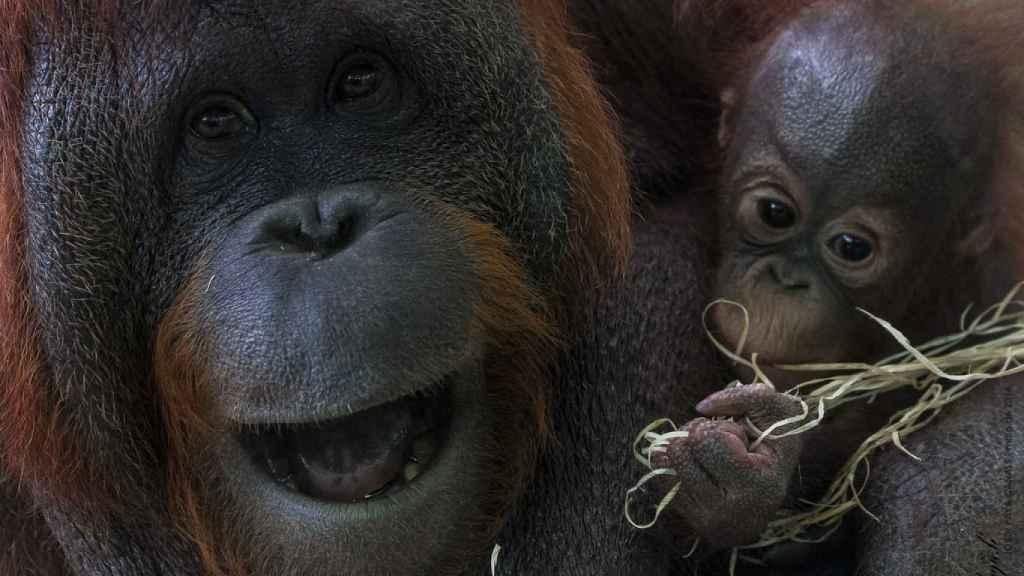 La cría de orangután depende por completo de su madre hasta los tres años