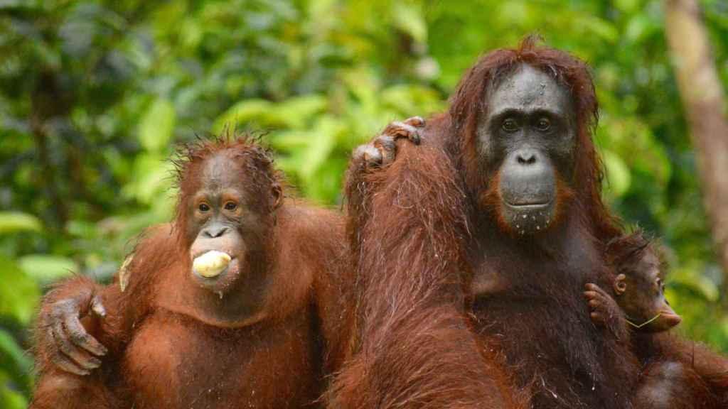Una madre orangután con dos crías, un bebé y un adolescente, en Borneo Central (Indonesia).