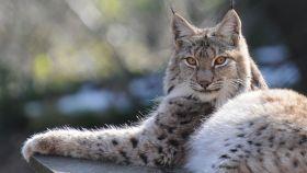 Un lince europeo o 'lynx lynx'.